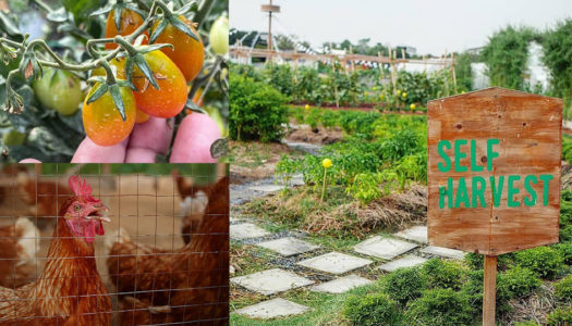 Self Harvest Vegetables, Collect Fresh Hen Eggs at this City Condominium Project | Bangkok Foodies
