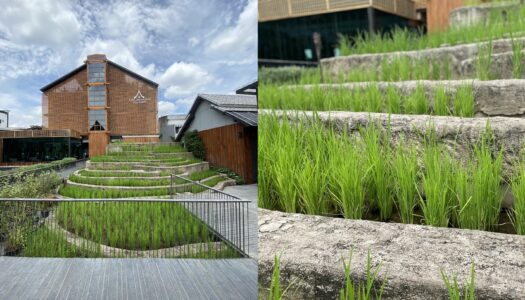 A Small Luxury Farm-to-Hotel in Chiang Mai Invites Guest to Harvest Rice in Its Rice Terrace| BANGKOK FOODIES